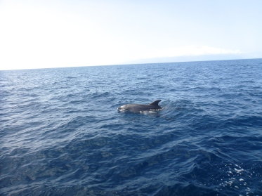 Dolphin Sighting in Los Gigantes